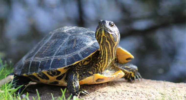 Can A Turtle Live Without a Shell