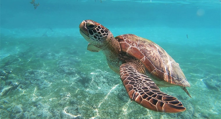 can a turtle live without its shell