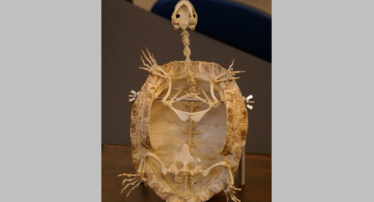 turtle's skeletal structure