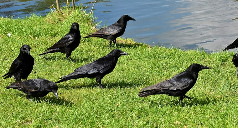 4 Things to Consider Before Getting a Raven