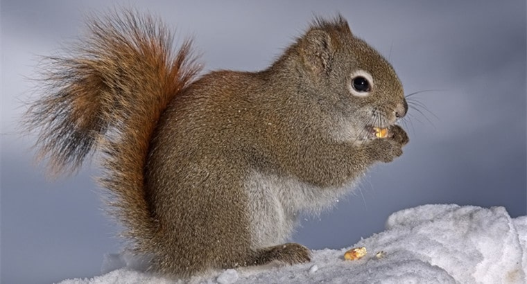 American Red Squirrels