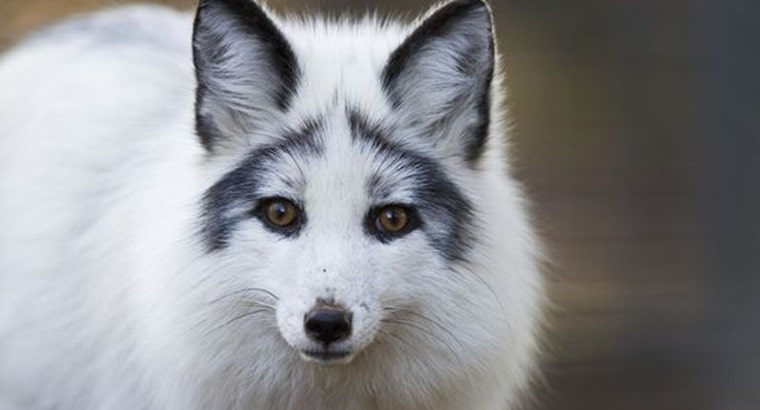 Are Canadian Marble Foxes Good Pets