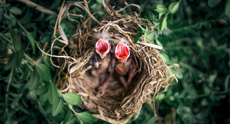 Baby Birds Eat