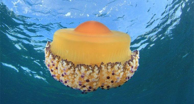 Fried Egg Jellyfish