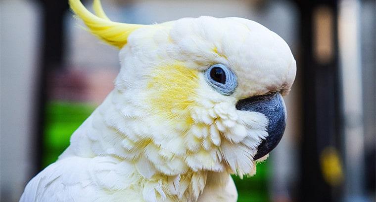 General Cockatoo Lifespan