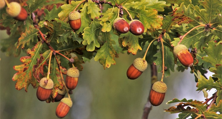 History of Oak Trees