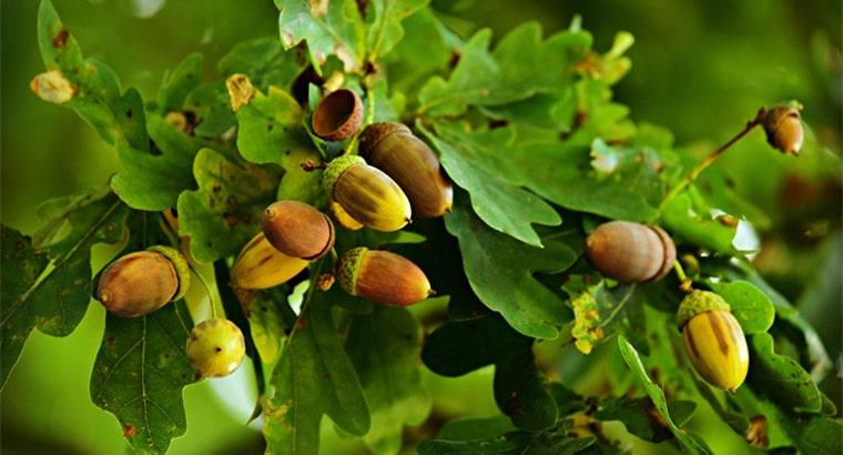 How to Identify an Oak Tree