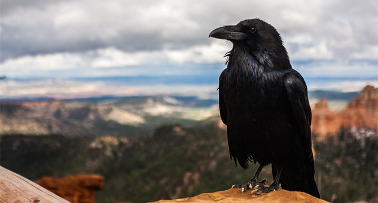 Is It Legal to Own a Raven