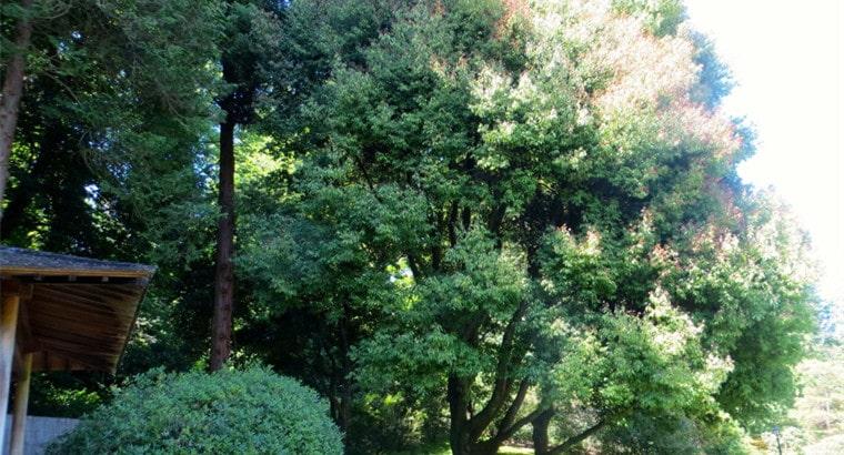 Japanese Evergreen Oak