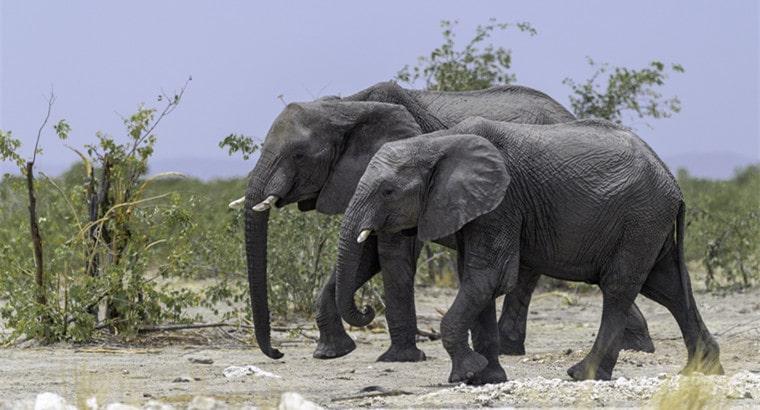 Lifespan of Elephants