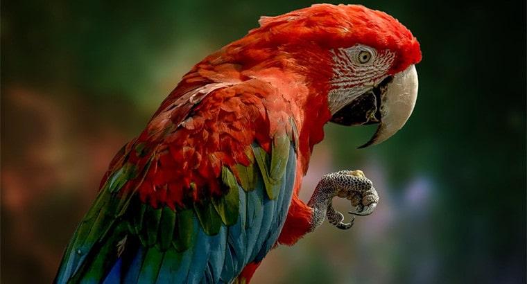 Male Parrot