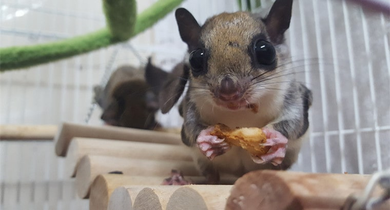 Southern Flying Squirrels