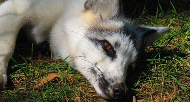 Things You Didn't Know About Canadian Marble Foxes