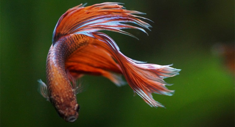 What Are Bettas