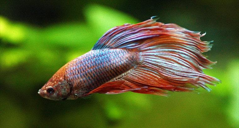 Will My Betta Kill My Goldfish
