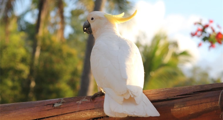 Your Cockatoo's Age