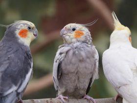 cockatoo lifespan