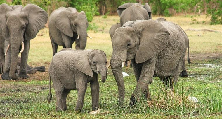 how long do elephants live