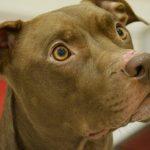 pitbull lifespan