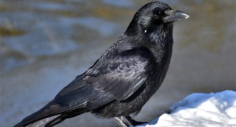 raven as a pet