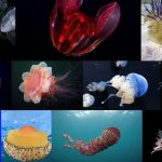 types of jellyfish