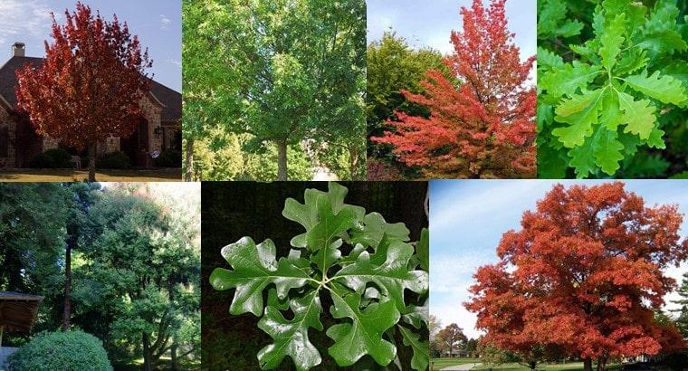 types of oak trees