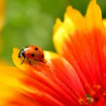 what do ladybugs mean